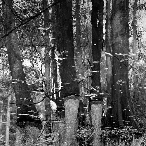 pentaxk1 monochrome swamp blackandwhite wetlands louisiana
