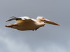 Great white Pelican/Pelecanus onocrotalus, by odileva
