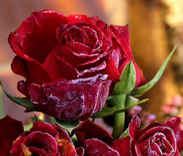 Red Rose on Black Friday
