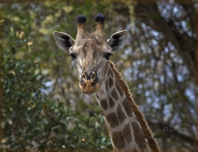 Southern Giraffe   EXPLORE 18 Nov 2017