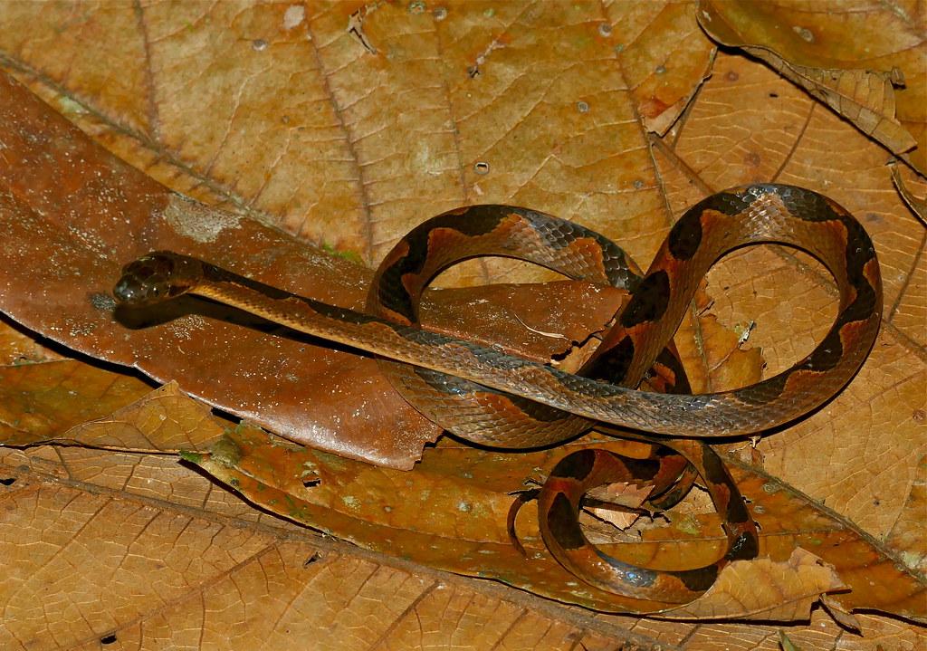 Banded Cat-eyed Snake (Leptodeira annulata)
