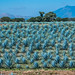 2017 - Mexico - Tequila - Blue Agave Field por Ted's photos - Returns Apr 24