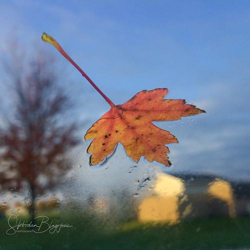 leaf fall autumn orange blue sky tree