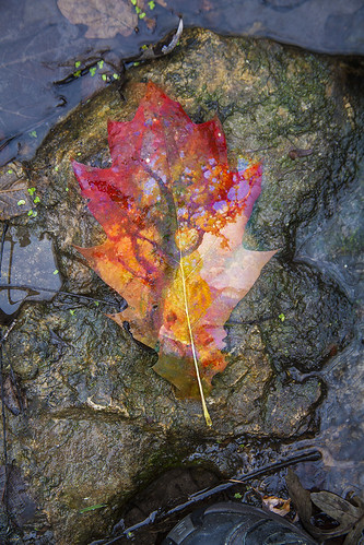 The Leaf that fell from Heaven | by ronphoto2009