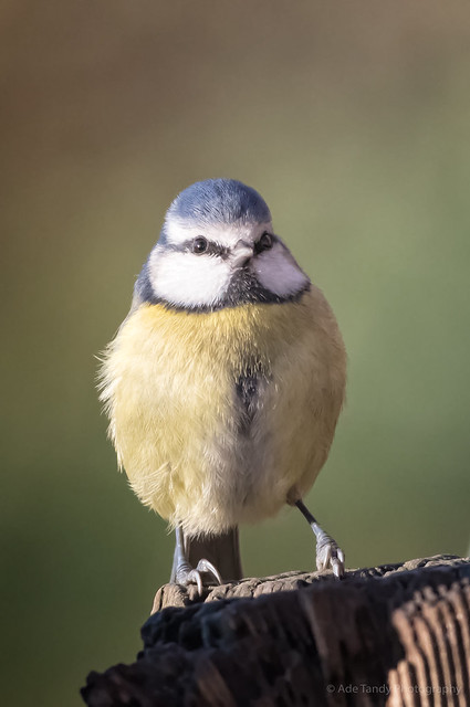Blue Tit - WWT Slimbridge