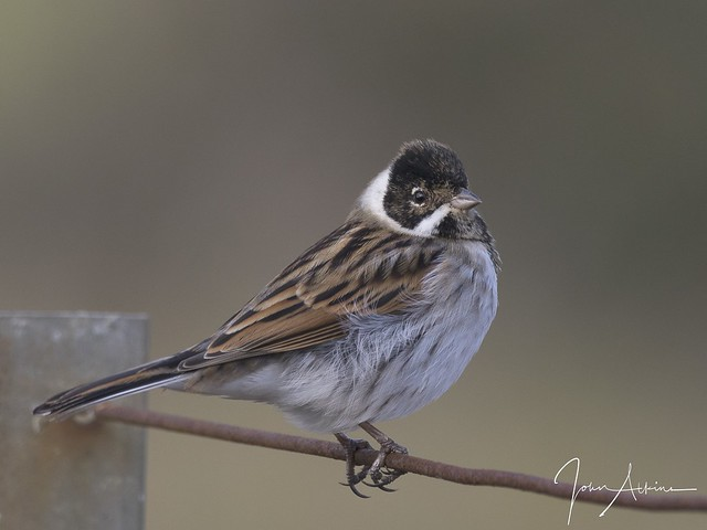 Reed Bunting at Nene Park.