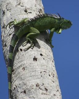 Iguana Lizzard | by Adam J Skowronski