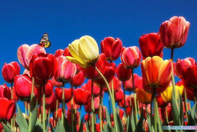 Tulips Blossom Season *Nature's Inspiration*