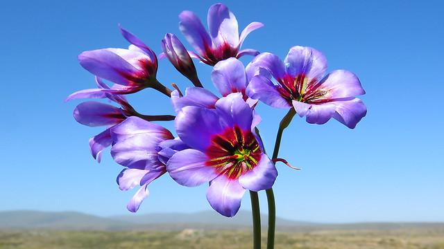 Huille  (Leucocoryne purpurea) / Desierto Florido 2017 / Chile