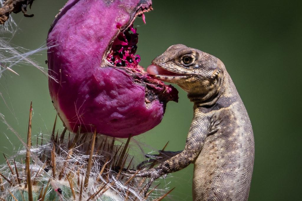 Calango (Tropidurus torquatus) comendo fruto do Xique-Xique ( Pilosocireus gounelli)