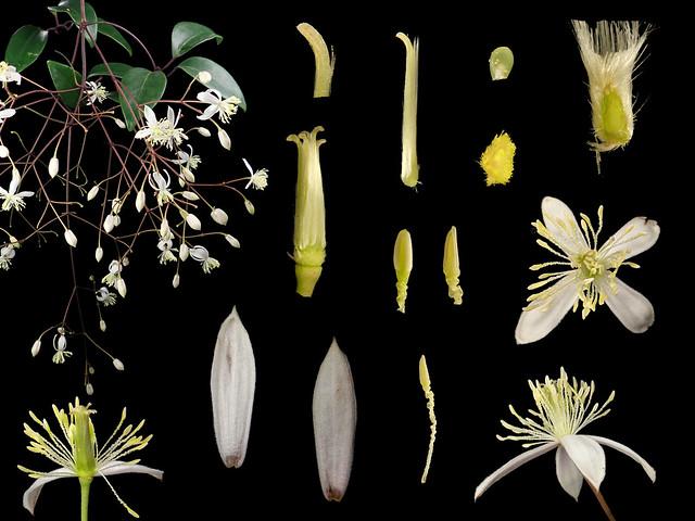 Ranunculaceae Clematis crassifolia