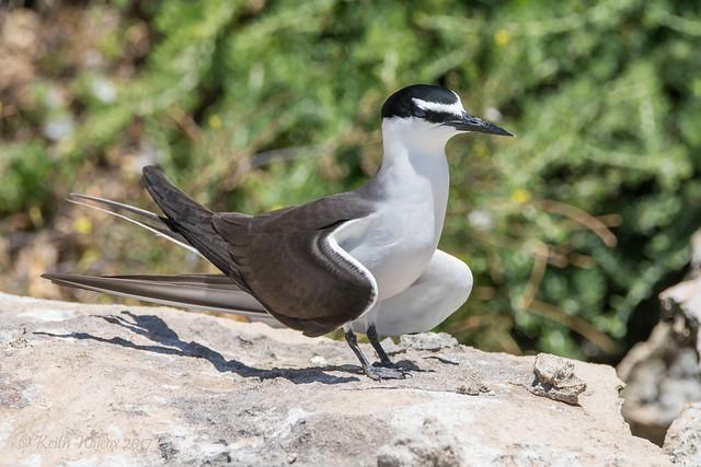 Bridled Tern 5 (Onychoprion anaethetus)
