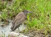 Guaco Manglero, Yellow-crowned Night-Heron (Nyctanassa violacea) by Francisco Piedrahita
