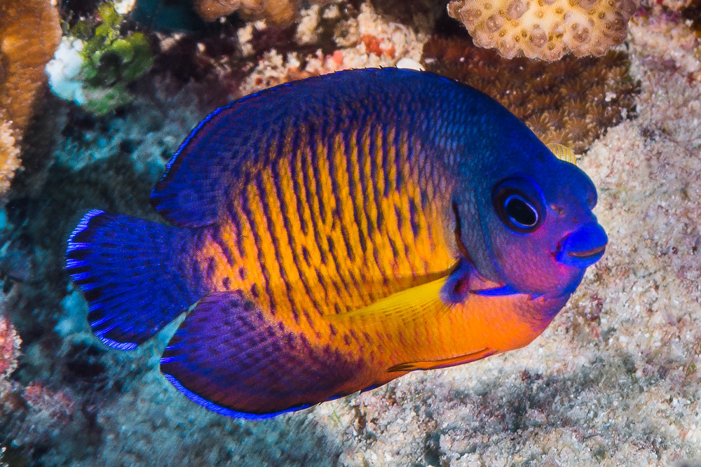 Two-spined Angelfish - Centropyge bispinosus