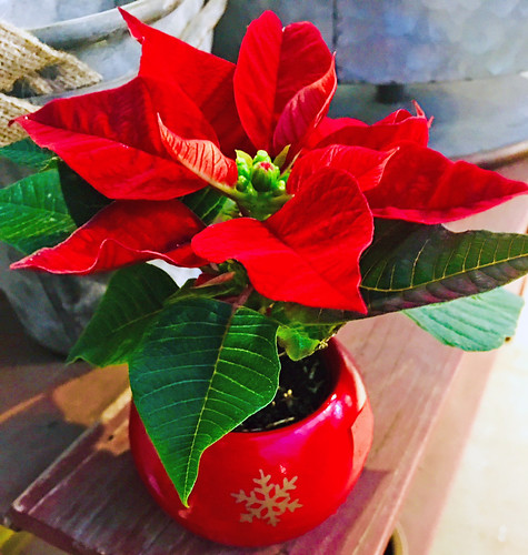 Poinsettia — Photo Courtesy Brian Wheat, AAF, PFCI, of Lafayette Florist, Gift Shop & Garden Center in Lafayette, Colorado. www.lafayetteflorist.com | by Flower Factor