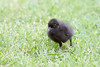 Buff-banded Rail chick (Gallirallus philippensis) by patrickkavanagh