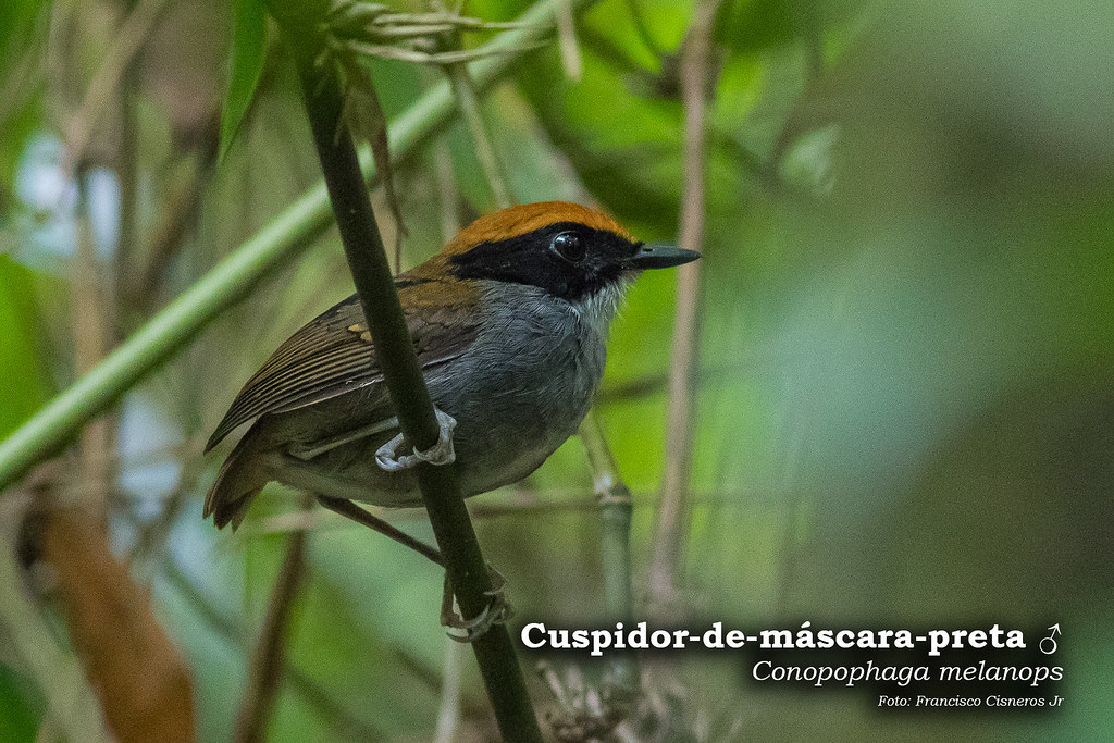 Cuspidor-de-mascara-preta - Macho - Fazenda Angelim-5805