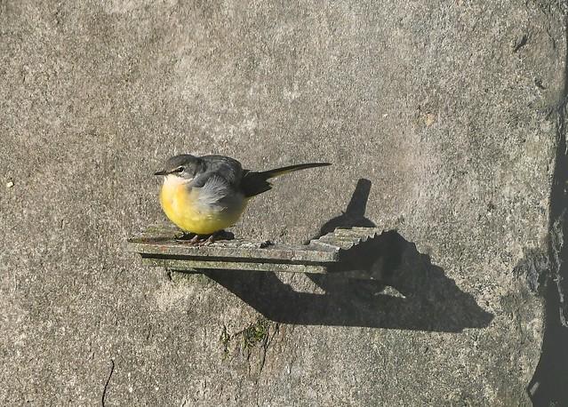 Grey Wagtail soaking up the sun!