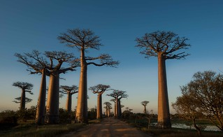 Sunset on Baobabs  (explore) | by Rod Waddington