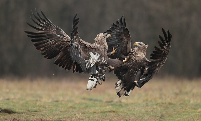 White tailed eagles.