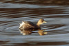 Little Grebe, Musselburgh, East Lothian, Scotland by Terathopius