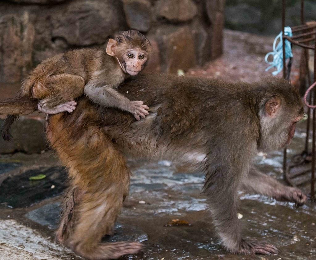 in Kathmandu_18 pui de maimuta