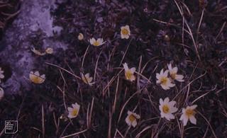 Flowers Mountain Avens 3rd week May. Kilfenora 1988