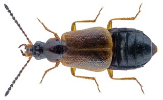 Orochares angustatus (Erichson, 1840)   by urjsa