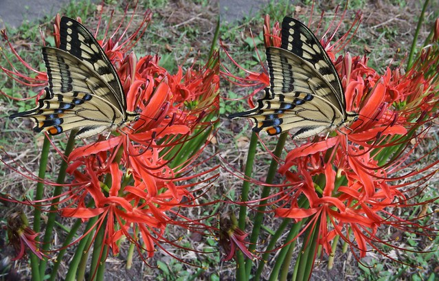 Papilio machaon, stereo cross view