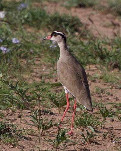vanellus coronatus lark aves ethiopia