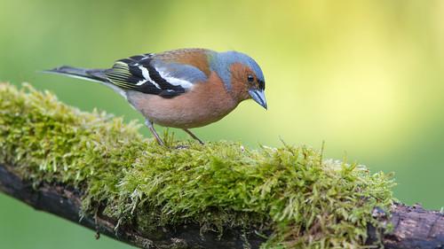 wimboon vink bird vogel vogelhut canon300mmf4lis14ex canoneos5dmarkiii alblasserwaard holland nederland netherlands nature natuur