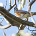 アカハラ(Brown-headed thrush)