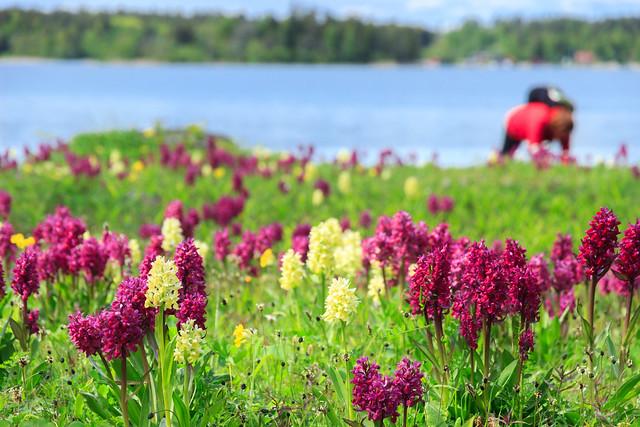 Enjoying the Elder-flowered Orchids, Ängsö national park, Stockholm archipelago