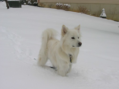 american-eskimo-dog-742010_1280