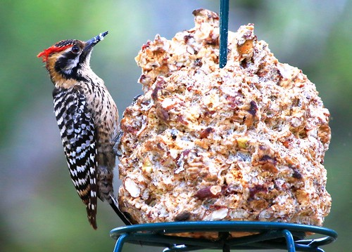 male woodpecker reis az canyon larry ash bb ladderbacked