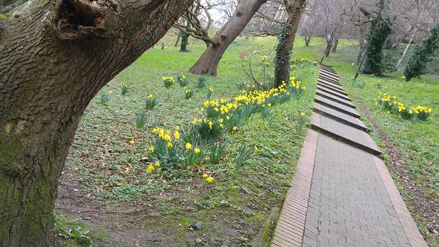 Daffodils / Cennin Pedr