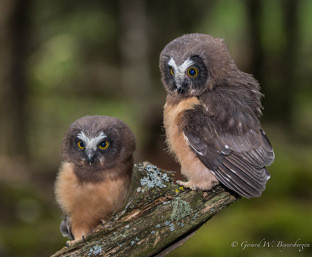 Northern Saw-whet Owl - Owlets