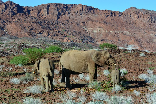 Desert Elephants in Damaraland, Namibia.