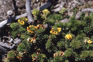 A beach pea nr. [?] Pultenaea stipularis.  Gantheaume.   Kangaroo Island