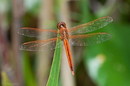libellulidae odonata anisoptera insect dragonfly skimmer dorsalview loxahatcheenationalwildliferefuge palmbeachcounty florida usa macrolife needhamsskimmer libellulaneedhami