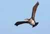 Great Cormorant, Fife Ness, Scotland by Terathopius