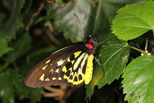 Queen Alexandra's Birdwing (Ornithoptera alexandrae) (1)