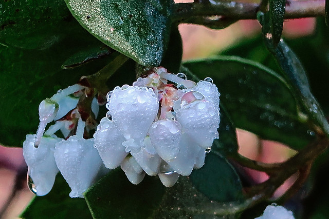 J20171114-0002—Arctostaphylos manzanita—RPBG—DxO