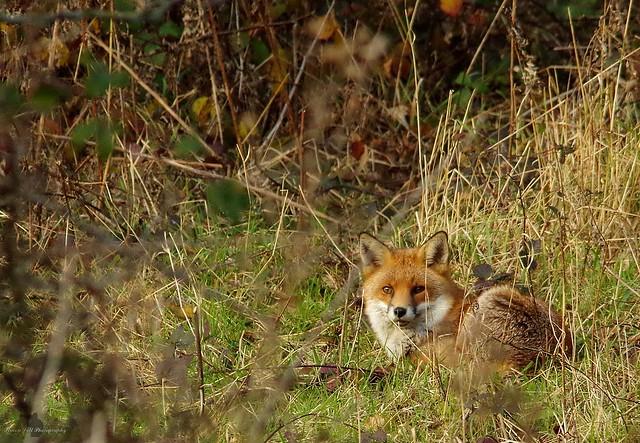 Fox in a field sheffield 3 dec 2017 (6)