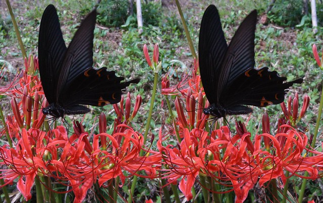 Papilio protenor, stereo parallel view