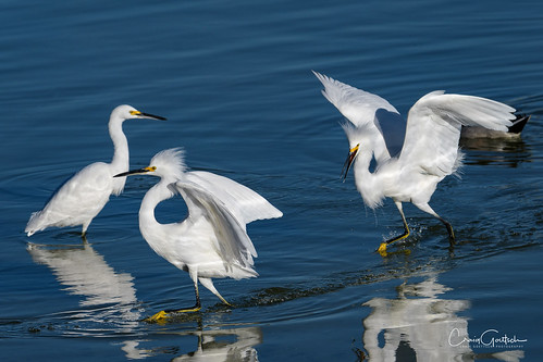 avian nature wildlife blue white snowyegret nikon d500