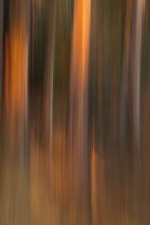 Eucalyptus #1