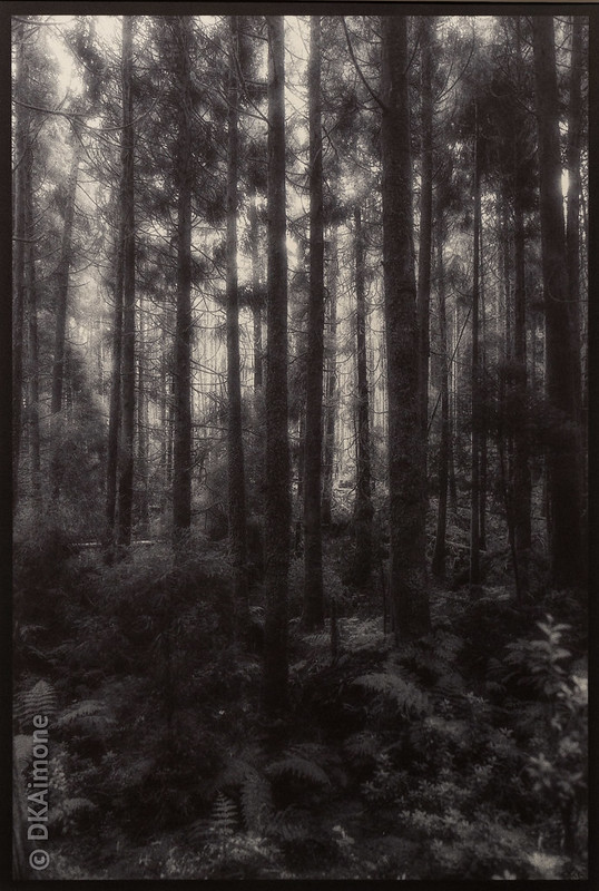 Forest, Sao Miguel, Azores