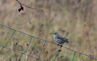 Pipit spioncelle | by JeanJoachim