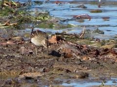 Pectoral Sandpiper, Yellow Creek S.P., Indiana Co., PA 10/10/2017